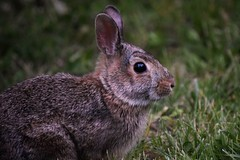Sniff (marensr) Tags: eastern cotton tail rabbit bunny nature mammal animal