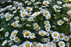 Marguerite (Monde-Auto Passion Photos) Tags: fleur flore marguerite nature plante france bretagne saintphilibert