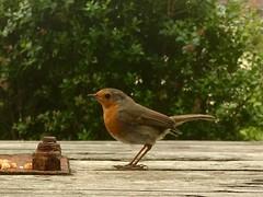 'Gofyn tamaid...'. / 'Just a crust please, hen a three chicks to feed..'.    Robin (erithacus rubecula) (FfotoMarc) Tags: adar robin iphoneography nature birdlife birds cymraeg welsh wales cymru