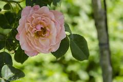 Chédigny festival des roses 10 (letexierpatrick) Tags: cheverny rose flowers fleurs fleur flower floraison france jardin touraine nature botanique nikon nikond7000 printemps plante