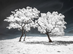 Embrace (Glenn D Reay) Tags: hadrianswall walltowncrags trees infrared infrared720nm 720nm northumberland olympusep1 zuiko1442ii glennreay