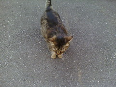 IMG13776 (chicore2011) Tags: funnytabby owned