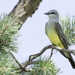Western Kingbird thumbnail