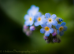 Please Don't Forget Me (13skies) Tags: flowers forgetmenots small tiny little macro blue closer wee delicate special alive sweet grow colour color