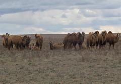 Camel herd (tom_2014) Tags: desert herd domesticcamel domestic steppe bactriancamel camel arid bactrian betpakdala kazakhstan kazakh asia centralasia turkestan landscape animal nature view mammal species