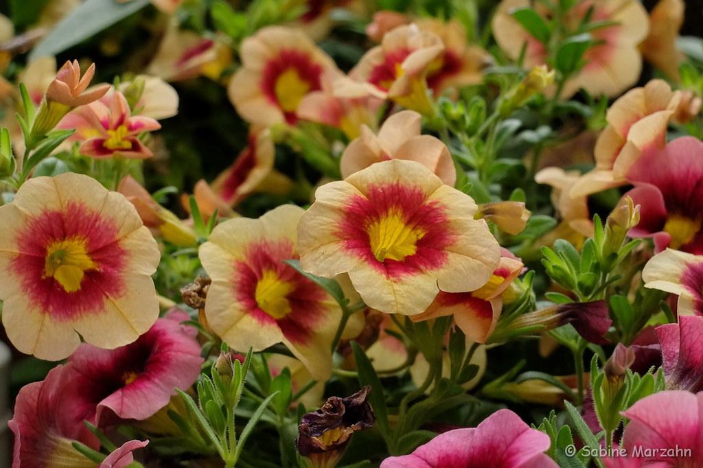The World S Best Photos Of Balkonpflanzen And Blumen Flickr Hive Mind