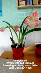 Amaryllis #4 (White with red veining) flowering on living room table 22nd June 2017 006 (D@viD_2.011) Tags: amaryllis 4 white with red veining flowering living room table 22nd june 2017