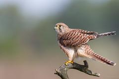 Young  Kestrel (eric-d at gmx.net) Tags: falcotinnunculus falcon kestrel turmfalke falke eric naturepicturede ngc