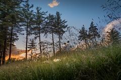 day-end daisies (Christian Collins) Tags: canoneos5dmarkiv daisy dayend evening sunset atardecer pine midland midmichigan mi rain raindrops rainpearls flower