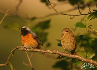 Father & Fledgling, Redstarts