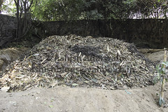 Leaves ready for composting (Ashish A) Tags: composting compostinggardenwaste compostingleaves compostingusingleaves creatingcompost dryleaves gardenwaste leafcompost leaves leavesandgardenwaste pileofleaves pileofleavesandgardenwaste preparingforcomposting