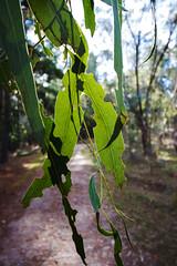 feast of leaves (Daedalus-) Tags: gumtree gumleaves leaf leaves canberra australia isaacs isaacsridge canon canonefs1018mmf4556isstm dof depthoffield green