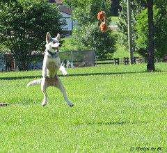 Blue Playing Catch The Rope. (~~BC's~~Photographs~~) Tags: bcsphotographs canonsx50 blue dogs outdoors aroundthefarm summer actionshot ourworldinphotosgroup earthwindandfiregroup