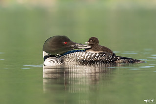 ''Un regard qui dit tout!'' Plongoeon huard-Common loon