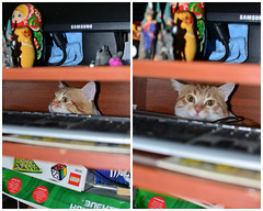The drill... It's really scary... (Luniul) Tags: cat redcat animal fear