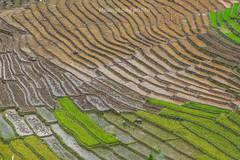 _Y2U9807.0617.QL4H.Hua Bum.Mường Tè.Lai Châu. (hoanglongphoto) Tags: asia asian vietnam northvietnam northwestvietnam landscape scenery vietnamlandscape vietnamscenery terraces terracedfields terracedfieldsatvietnam landscapewithpeople abstract flanksmountain canon canoneos1dx canonef200f28liiusmlens tâybắc laichâu mườngtè ql4h huabum phongcảnh ruộngbậcthang đổnước mùacấy ruộngbậcthangmườngtè ruộngbậcthanglaichâu phongcảnhruộngbậcthang hdr transplantingseason sowingseeds sườnnúi phongcảnhtâybắc phongcảnhcóngười