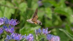 Taubenschwänzchen (Macroglossum stellatarum) - Explore - (Oerliuschi) Tags: taubenschwänzchen buttterfly schmetterling kolibri rüssel blumen flowers nature natur kaiserstuhl