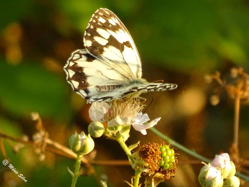 Águas Frias (Chaves) - ... borboleta pousada na flor ...