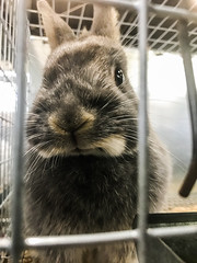 what are you doing in here? (pbo31) Tags: bayarea eastaby alamedacounty california color july summer 2017 pleasanton pbo31 boury alamedacountyfair fair cage display animal pet judge rabbit rabbits farm country breed little iphone7 grumpy face brown nose look