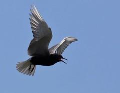Black Tern_1J8A7037 (navanbird) Tags: blackternchlidoniasniger cumberland ottawariver tomdevecseriphotography
