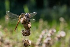 Dragonfly (Meinolle) Tags: libelle natura nature natur canon eos macro makro dra dragonfly lindau wissingerslindau bodensee deutschland germa germany lakeconstanze naked flower wiese grün wetter