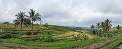Panoramic view of terraced rice fields, Bali island, Jatiluwih, Indonesia (Eric Lafforgue) Tags: agricultural agriculture asia asian bali1353 balinese bedugul breathtaking countryside crops cultivated cultivation culture farming farmland fields green growing horizontal indonesia irrigation landscape nature nopeople outdoors paddies palmtrees panoramic rice ricefields ricepaddies riceterraces rural scenery subak terracefarming terraced terraces terracing unescoworldheritagesite verdant jatiluwih baliisland