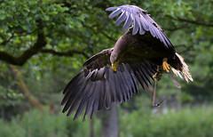 Queen.. (Nephentes Phinena ☮) Tags: nikond500 seeadler sigma70300mmmacro whitetailedeagle wildparkeekholt falknerei falconry