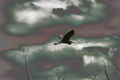 moody flight (sjlock1) Tags: bird watcher heron blue lightroom