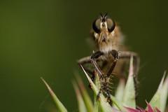 DSCF5328_ (faki_) Tags: fuji fujifilm xe1 fujinonxf60mmf24rmacro 60 24 sooc ooc astia rovar insect