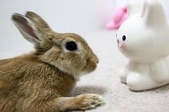 Ichigo san 735 (Ichigo Miyama) Tags: いちごさん。うさぎ ichigo san rabbit うさぎ netherlanddwarf bunny brown ネザーランドドワーフ ペット いちご