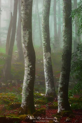 Hayedo (Mimadeo) Tags: forest fog trees green wet foggy misty mist beech branch nature landscape morning leaves trunk light mystery mysterious lichen fantasy fairy magic ethereal beautiful dreamy