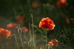Mohnfee (mariokopatz) Tags: mohn summer flower oldlens m42 tessar50 tessar 50mmf28 50 28