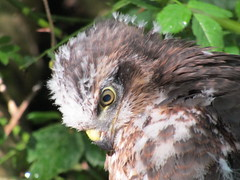 I've been photographing 3 Sparrowhawk chicks for the past 6/7 weeks, I've seen them being incubated, then spotted 3 fluffy heads peeping over the nest and slowly they've matures into gorgeous little Sparrowhawks. Amazing to see this little fledgling. (stevencarruthers93) Tags: wigan wiganflashes greenheart nature wildlife birdofprey wildlifephotography naturephotography canon canonphotography springwatch sparrowhawk