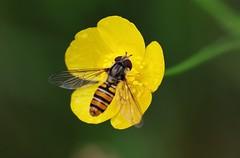 Hoverfly (Hugo von Schreck) Tags: hugovonschreck hoverfly schwebfliege macro makro insect insekt canoneos5dsr tamron28300mmf3563divcpzda010 onlythebestofnature