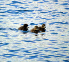 Ducklings (stuartcroy) Tags: orkney island duck duckling ducks diving