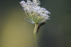 Caterpillar on a Flower (dzmears) Tags: caterpillar insect flower green outdoors
