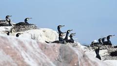 Phalacrocorax carbo (kaius.artimo) Tags: phalacrocoraxcarbo greatcormorant nestingcolony merimetso kirkkonummi