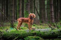 Going off the beaten track in the forest. • • • • • #campingwithdogs #hikingwithdogs #dogsonadventures #dogsthathike #adventuredog #thestatelyhound #rawireland #backcountrypaws #doglove #hikingdogsofinstagram #excellent_dogs #adventureswithdogs #topdogpho (watson_the_adventure_dog) Tags: going off beaten track forest • campingwithdogs hikingwithdogs dogsonadventures dogsthathike adventuredog thestatelyhound rawireland backcountrypaws doglove hikingdogsofinstagram excellentdogs adventureswithdogs topdogphoto heelergram hikingdog animaladdicts traildog ireland exploretocreate dogsonlogs wildatlanticway wanderireland instaireland inspireland irishpassion irelandgram amongthewild visualsgang