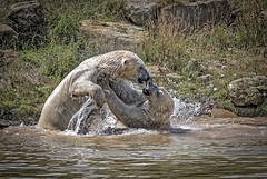 Fight Fight Fight! (Capturinlife) Tags: polar bear bears fighting water splashing
