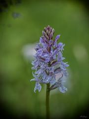 Orchidee (Oly User) Tags: breisgau olympus thomasmeinersmann urlaub omdem1 60mmf28macro natur blüten orchidee