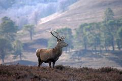 Red Deer Stag (Gavin MacRae) Tags: stag reddeerstag deer reddeer cervuselaphus strathglass glenaffric glenstrathfarrar glencannich highlandwildlife highlandnature highlandlandscape highlands highlandsofscotland scottishwildlife scottishnature winterwildlife winter woodlandwildlife wildlife nature nikon scotspine caledonianforest scotland scottishhills scottishlandscape
