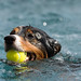 Australian Shepherd with ball in water