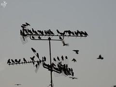 Storni. Milano (diegoavanzi) Tags: milano milan italia italy lombardia lombardy uccelli birds storni starling migrazione migration sony hx300 bridge animali animals
