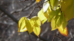 Golden Elm Leaves (Theen ...) Tags: bare branches brown elm golden green hobart leaves lumix square theen winter yellow