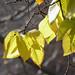 Golden+Elm+Leaves