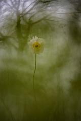 DSC_4414-1 (melnikovee) Tags: flower nature art macro anemone multiexposition multiexposure tree