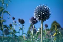 Spikes! (tanyalinskey) Tags: garden purple spikes flower flowers