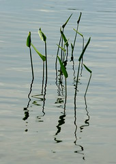 arrowheads (thomas.erskine) Tags: 20170709imgp3292teecropheallev 2017 jul summer day ottawa quebec gatineau lac lapeche lake plant water weeds arrowhead