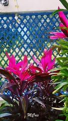 A natureza dita as cores... MCris (MCrissssss) Tags: cores vibrantes plantas flora rosachoque vegetação photo nature natureza