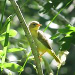 Common Yellowthroat_female thumbnail